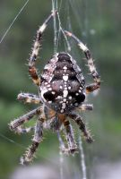spider by thomas7878