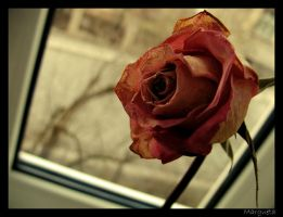 Rose by margueta
