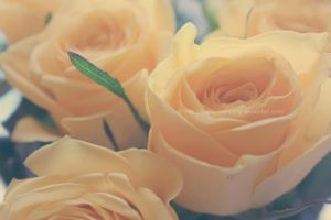 Yellow Roses by UnrehearsedSplendour