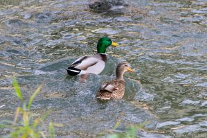 Smiling ducks by AndreaMetallurgico