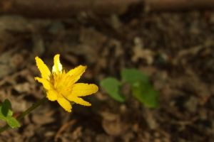 Small yellow flower by aktron