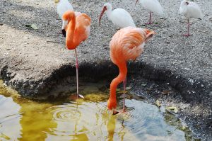 Flamingos in a Pond Stock Photo 0648 by annamae22