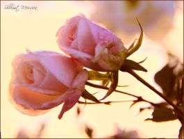 Le temps des roses 5 by ShlomitMessica