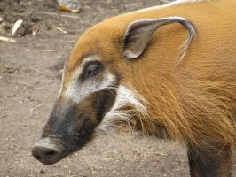 Red River Hog Face by dtf-stock