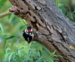 Woodpecker by bluesgrass