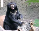Sun Bear by LHufford