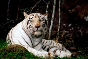 Tiger 20 by Art-Photo