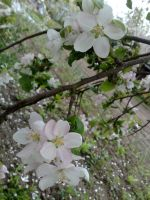 It Is Snowing Apple Blossom by Metalliana