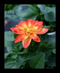 the flower of phoenix by ad-shor