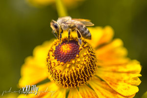 Bee 3 by xXLilly