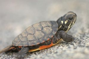 Baby Painted Turtle by crimsonpenguin