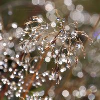 Diamond Dew by miroslav-petrinec