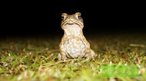 Cane Toad Looking At The Camera by pfgun0