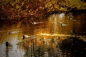 the ducks by paracats