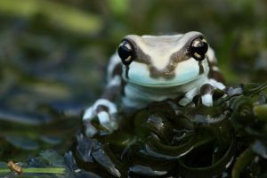The happy milk frog by AngiWallace