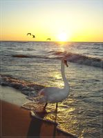 swan... by nuubis