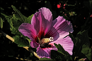 First Rose Of Sharon by TThealer56