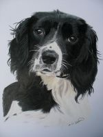 springer spaniel commission by RTyson