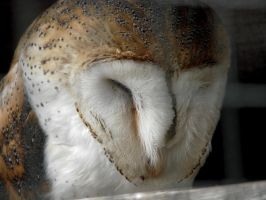 Barn Owl - Close and Personal by roamingtigress