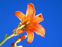 Flower in a Cloudless Sky by LavastormSW