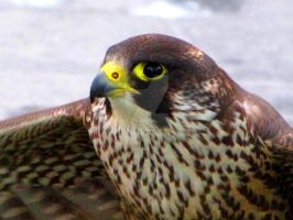 Peregrine Falcon by Faunamelitensis