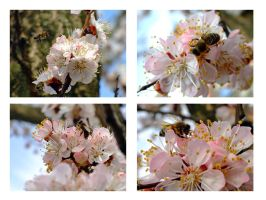 Apricot blossom and bees by Neshom