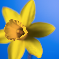 Doffodil by eyedesign