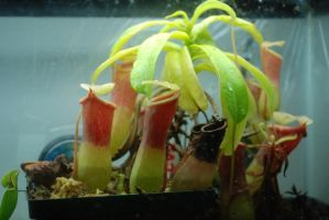Nepenthes Ventricosa by long-rifle
