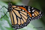 Monarch Butterfly 01 by DanielleMiner