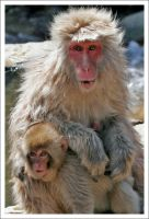 Japanese Macaques - 7778 by eight-eight