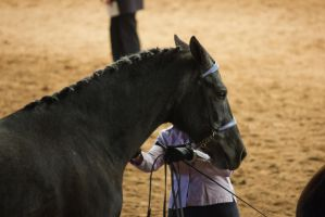 STOCK - 2014 Andalusian Nationals-17 by fillyrox