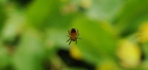 Baby Garden Orb Spider by graphic-rusty