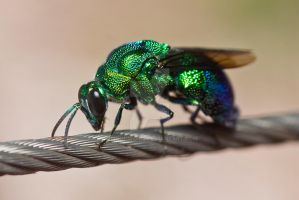Metallic Wasp by ribbonworm
