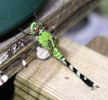 Eastern Pondhawk Dragonfly 1 by LissaMonster