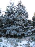 Tree Collection: Snow 2 by Germanstock