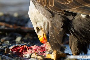 Bald Eagle at Lunch by softflower