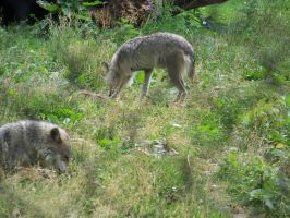 Wolf shot 2 by Chrisnorris44