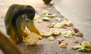 Squirrel Monkey #2 by EHilsdonPhotography