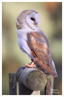 One more barn Owl by W0LLE