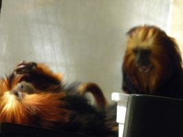 I think these are marmosets... by Tinydog-Tinydog