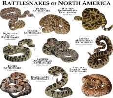 Rattlesnakes of North America by rogerdhall
