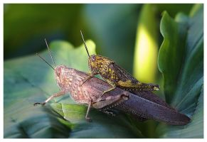 Grasshoppers in love by Nataly1st