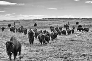 Buffalo Herd by jbkalla
