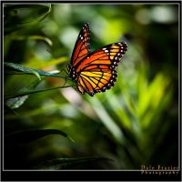 Monarch Beauty by DFPhotography