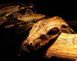 Boa constrictor by waterdrup