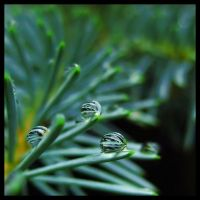 Three of the Evergreen by FramedByNature