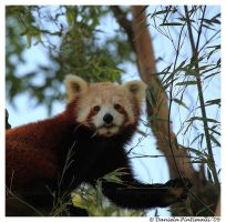 Hungry Red Panda by TVD-Photography