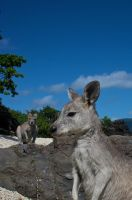 Wallaby Mates? by wilderBeest