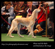 -Saluki- :stock: by SRS-Photography