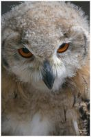 Young Eagle Owl by W0LLE